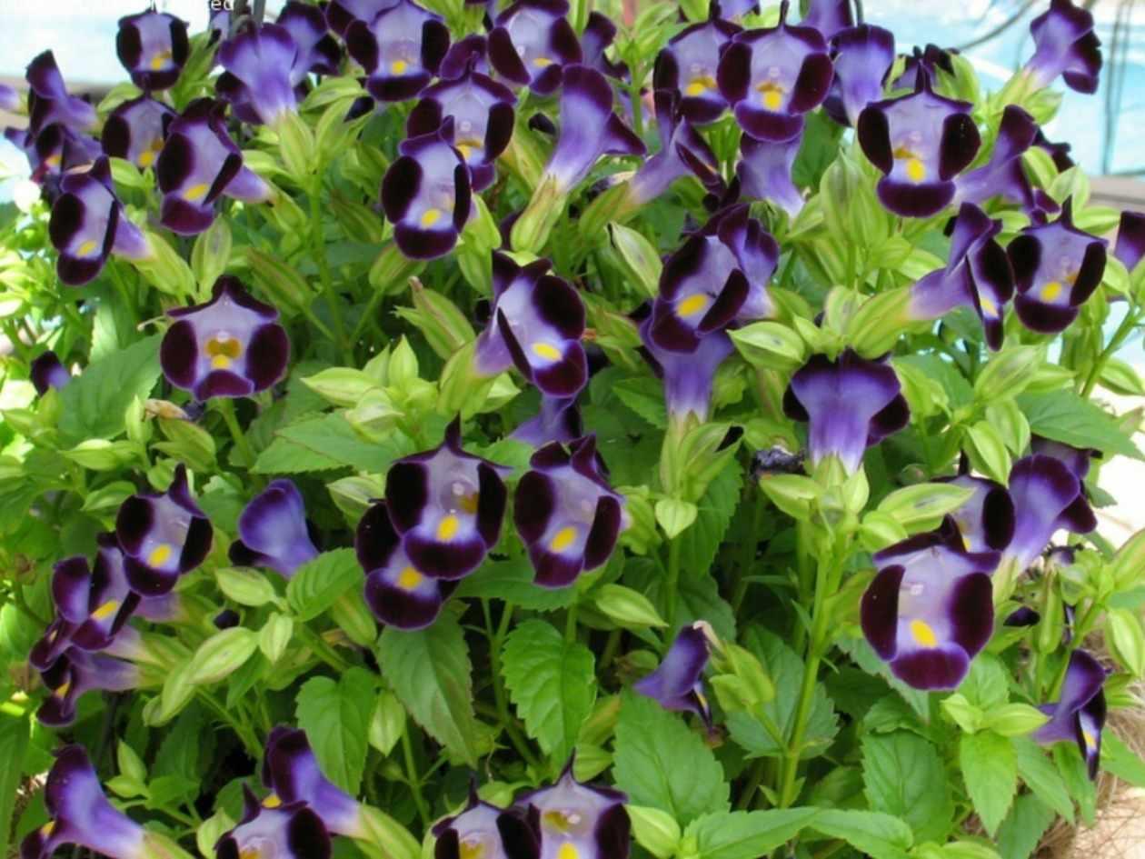 Торения цветы выращивание и уход 90