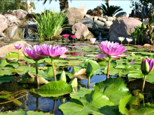 Aquatic Plants Open Lily