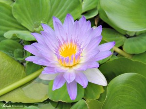 Aquatic Plants Purple Open Lily