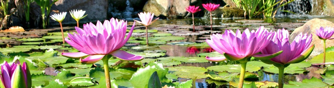 How to Plant Aquatic Plants in your Koi Pond in Chester County and Montgomery County